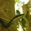 Andaman green bronzeback