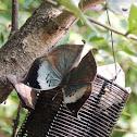 Blue Oak Leaf