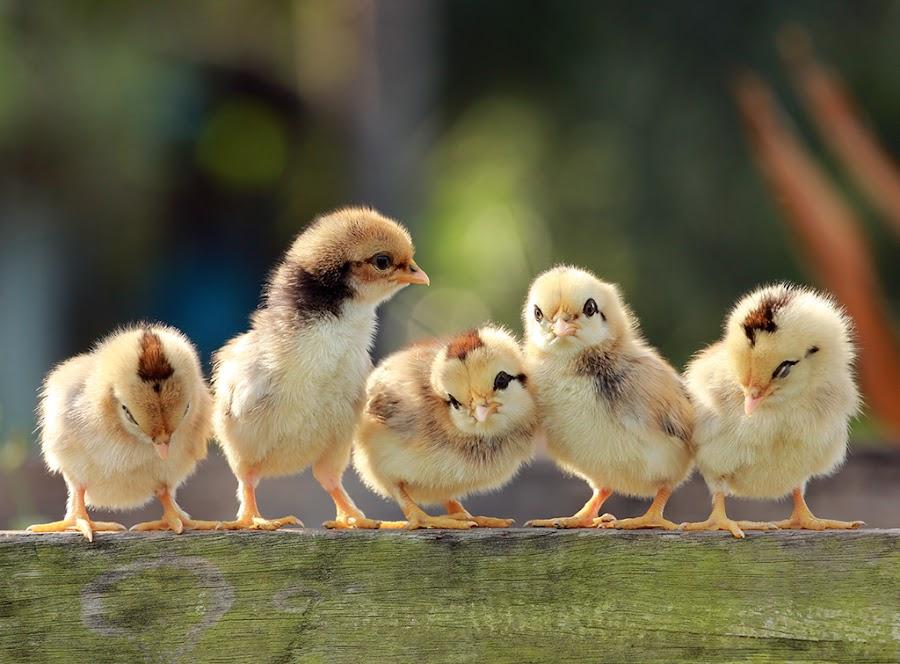 by Prachit Punyapor - Animals Birds ( babies, animals, family, birds )