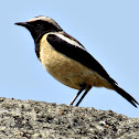 Buff-streaked Chat male