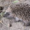 Erizo común (es), European Hedgehog (uk)
