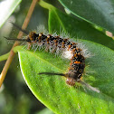 White Tussock Moth Caterpillar