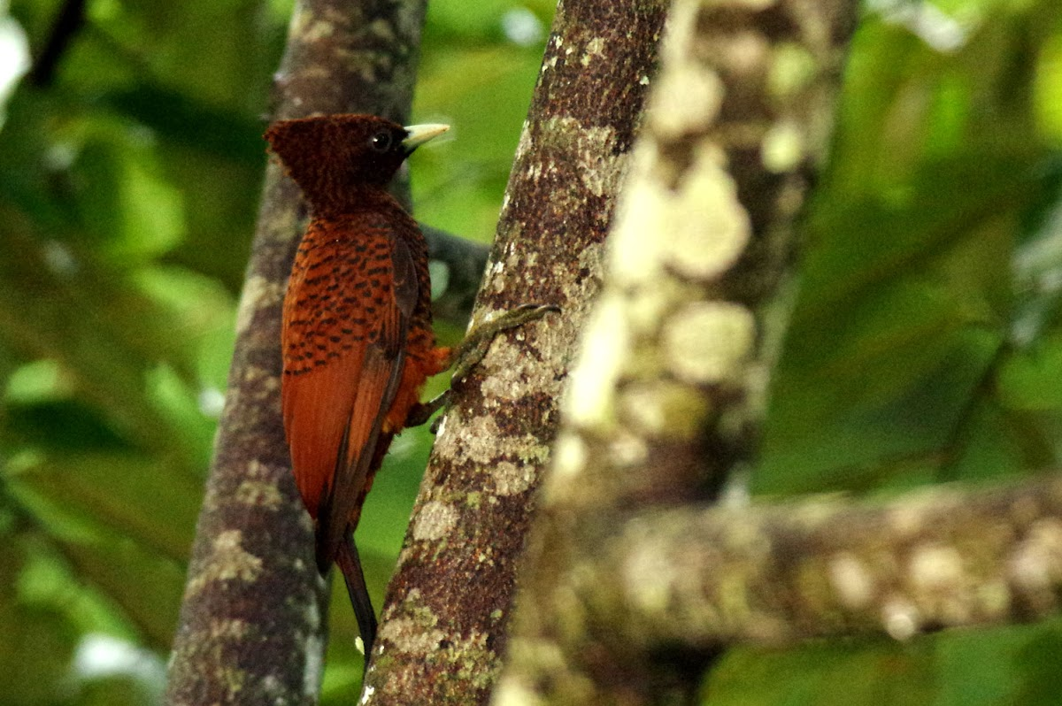 Scaly-breasted Woodpecker