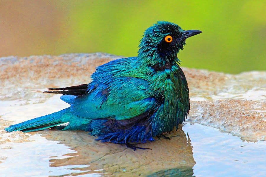 The Post Bath Look ! by Anthony Goldman - Animals Birds ( bird, water, wild leopard hills, starling, bath, africa, greater blue eared, , color, colors, landscape, portrait, object, filter forge, serenity, blue, mood, factory, charity, autism, light, awareness, lighting, bulbs, LIUB, april 2nd )