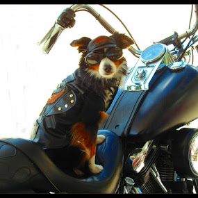 Harley Davidson Dog by MaryBeth Schepper - Animals - Dogs Portraits ( dogs, motorcycle, portrait,  )