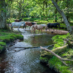 Crossing the river  by Mark Usher - Landscapes Forests ( horses, corssing, green, forest, the new forest, hampshire, river )