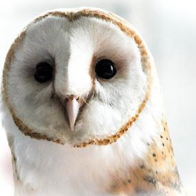 Barn Owl portrait by Desiree DeLeeuw - Animals Birds ( nature, barn owl, wildlife, birds, close up, owls, new jersey,  )