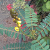 Planta del gofio