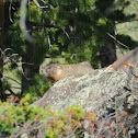 Yellow Bellied Marmot / Rock Chuck / Whistle Pig