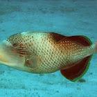 Yellow margin triggerfish