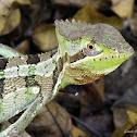 Serrated casque-headed iguana