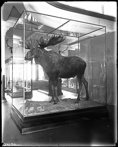 Alaskan moose, Hall of North American Mammals, 1913