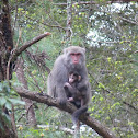 Formosan Rock Macaque