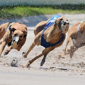 Running  by Bo Chambers - Animals - Dogs Running