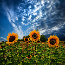 Trinity by Phil Koch - Nature Up Close Flowers - 2011-2013 ( summer. spring, natural light, vertical, wisconsin, photograph, sunflowers, environement, farmland, yellow, phil koch, leaves, spring, photography, sun, farm, love, nature, autumn, horizons, flowers, inspired, office, clouds, orange, green, twilight, agriculture, horizon, myhorizonart, scenic, morning, portrait, field, winter, red, seasons, national geographic, blue, serene, peace, fall, meadow, earth, sunrise, landscapes, floral, inspirational, , hdr, orange. color )