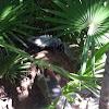 ctenosaur or spineytail iguana