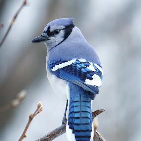 Blue Jay by Robert Daveant - Animals Birds ( bird, tree, blue, jay )