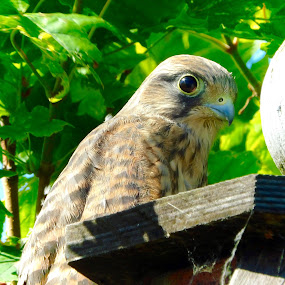 A young kestrel by Charlotte Kay - Animals Birds