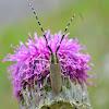 Golden-bloomed grey longhorn beetle