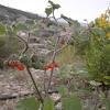 Solanum villosum Mill. subsp. villosum Solanum nigrum L. subsp. villosum (L.) Ball