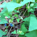 Mile a Minute Vine (invasive)