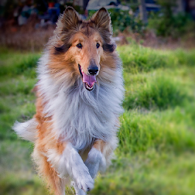 Collie by Cristobal Garciaferro Rubio - Animals - Dogs Running ( playing, colli, beauty, dog, bokeh, running )