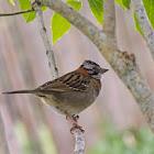 Tico-tico (Rufous-collared Sparrow)
