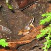 Rainforest Rocket Frog (w/tadpoles on back)