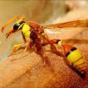 Potter wasp Series_1