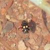 Sunburst Diving Beetle