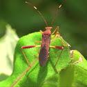 Lupine Bug