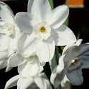Paperwhite Narcissus