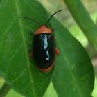 Shiny flea beetle