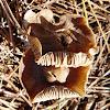 Seta Entoloma rhodopolium