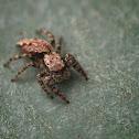 Marpissa Jumping Spider