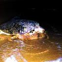 Green Turtle/Penyu Hijau