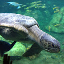 Green Sea Turtle