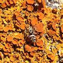 Zebra Spider on Elegant Sunburst Lichen