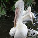 Pelicans conspicillatus