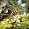 Chinche tintórea (Cotton bug)