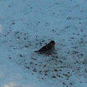 Redpoll Finch