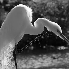 Itchy Great Egret by Sandra Blair - Black & White Animals ( water, bird, wading bird, wetlands, wader, egret, great egret, black and white, animal,  )