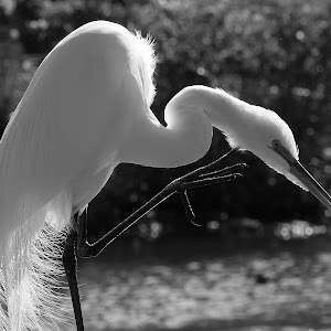 great egret 112.jpg