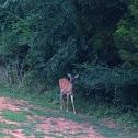 White Tailed Deer (female)