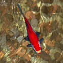 Red Koi Fish in Wishing Well icon