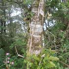 Oak tree?