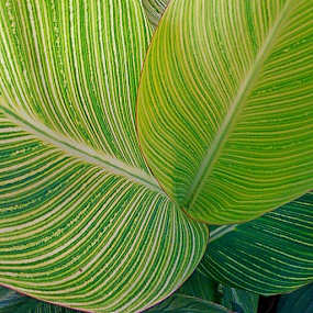 by Deborah Arin - Nature Up Close Leaves & Grasses ( macro, patterns, green, leaf, stripes, leaves, garden, close up,  )