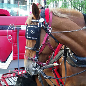 Red Carriage Horse by Angela Theresa Egic - Animals Horses ( red, 2013, nyc, central park, carriage horse )