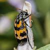 Lunate blister beetle
