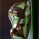 Chrysalis (pupa) of a Common Crow Butterfly